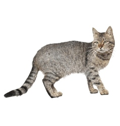 Drawing of cat isolated on white vector