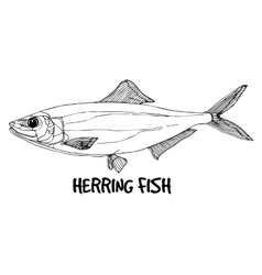 Herring fish in lines on white background vector