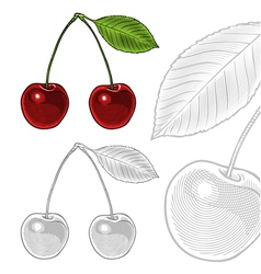 Sour cherry with leaf in vintage engraving style vector image
