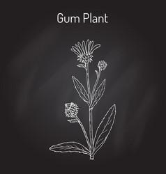 Gum plant grindelia squarrosa medicinal plant vector