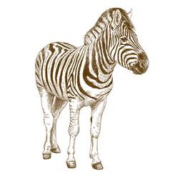 Engraving of african zebra vector