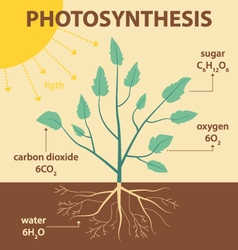 Schematic diagram photosynthesis plant vector