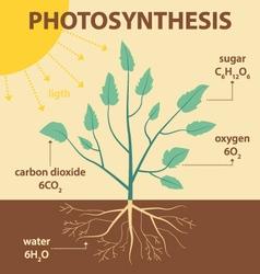 Schematic diagram photosynthesis plant vector