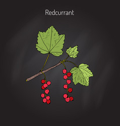 Red currant ribes rubrum vector