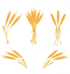 wheat harvest vector image