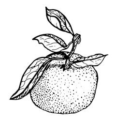 Tangerine sketch vector image