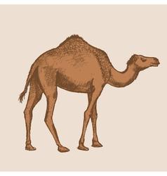 art camel vector image