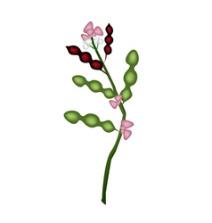 Fresh dolichos lablab plant on white background vector