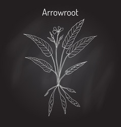 west indian arrowroot maranta arundinacea  or vector image