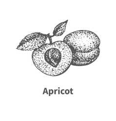 Hand-drawn apricot vector
