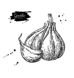 Garlic hand drawn  isolated vector