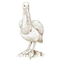 engraving of big pelican vector image