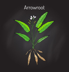 West indian arrowroot maranta arundinacea or vector