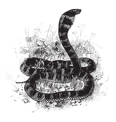 King cobra vintage vector