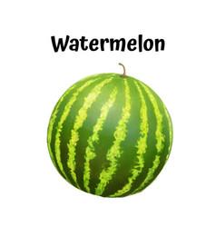 watermelon realistic ripe vector image