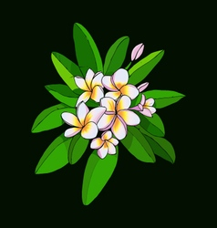 Hawaii flower frangipani and leaves white plumeria vector