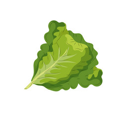 fresh lettuce natural vegetable nutrition vector image