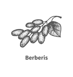 Sketch berberis with leaves and branches vector