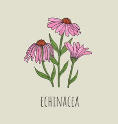 Detailed botanical drawing of elegant pink vector
