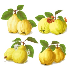 set of ripe quinces vector image vector image