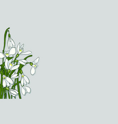 spring flowers snowdrops vector image