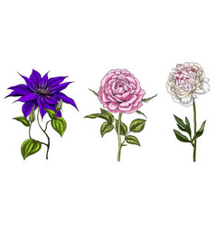 set with peony clematis and rose flowers vector image vector image