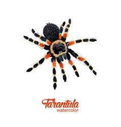 Watercolor spider tarantula vector image