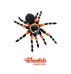 Watercolor spider tarantula vector