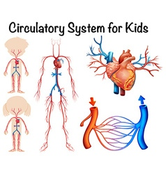 Circulatory system for kids vector image vector image