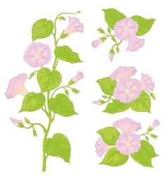 flowers ipomoea with leaves vector image