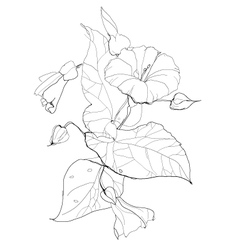Bindweed vector