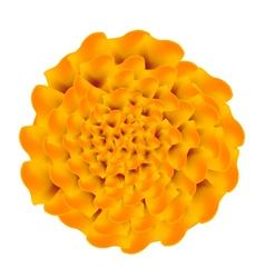 Orange marigolds flower on a white background vector