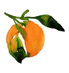 Watercolor mandarin vector