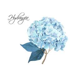 hydrangea realistic vector image