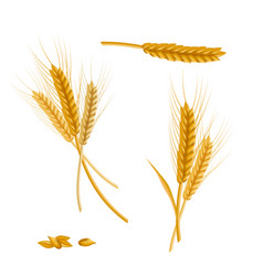 realistic detailed color wheat ear vector image vector image