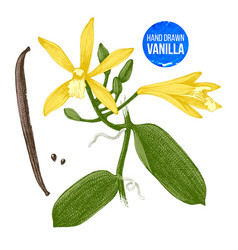 vanilla plant hand drawn botanical vector image