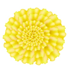 Yellow marigolds flower on a white background vector