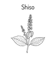 Shiso perilla frutescens  spice and medicinal vector