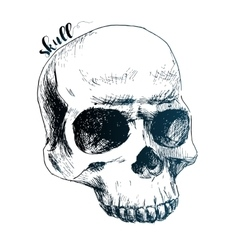 Nice human skull vector image