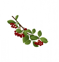 red berries vector image vector image