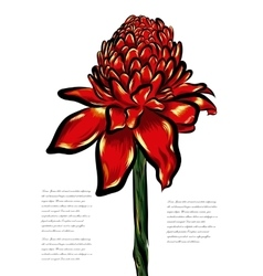 Etlingera tropical flower on a white vector image vector image