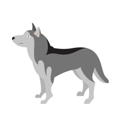 Siberian husky dog breed vector