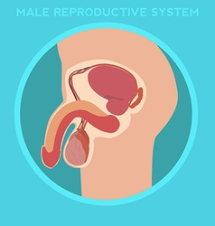 Diagram of the male reproductive system vector