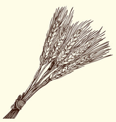 Bunch of ripe wheat vector