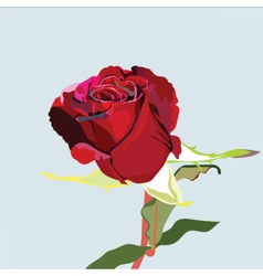 Delicate red rose flower isolated vector