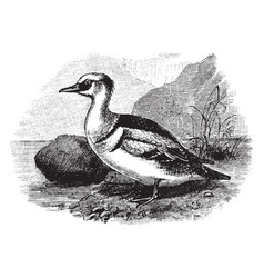 Smew a merganser or fishing duck vintage vector
