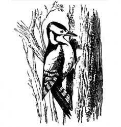 Woodpecker dryobates major vector