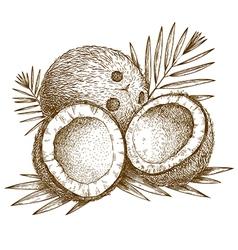 engraving coconuts vector image