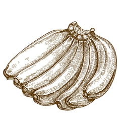 Engraving bananas vector