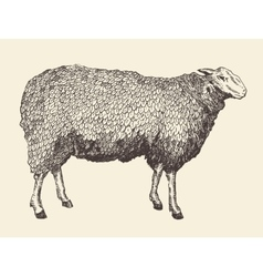 Sheep intage of engraving vector